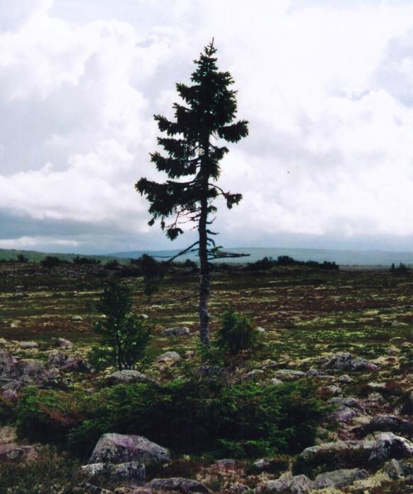 old-tjikko-16