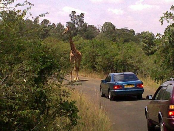 3867190613_8362262024_z_stuborn-giraffe-at-nairobi-national-park_afromusing_flickr-com