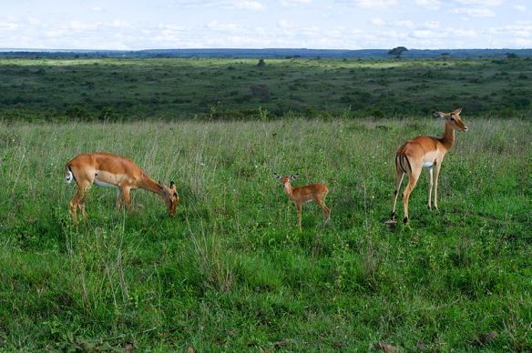 three_impala_stand_in_a_field_in_nairobi_national_park_17170461880_u-s-department-of-state_commons-w