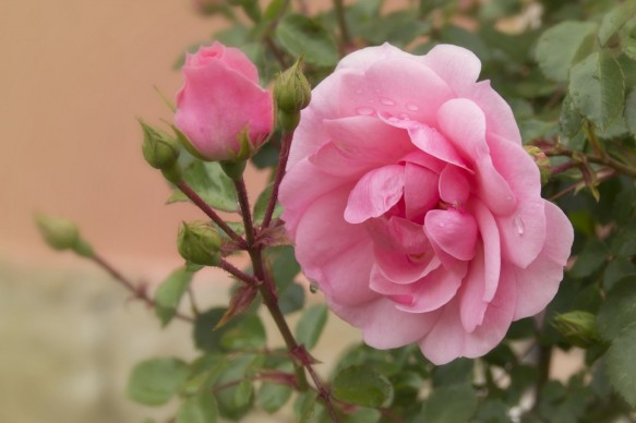rose_pink_flower_flowers_pink_rose_tender_rose_pink_roses_rose_bush-613980.jpg!d
