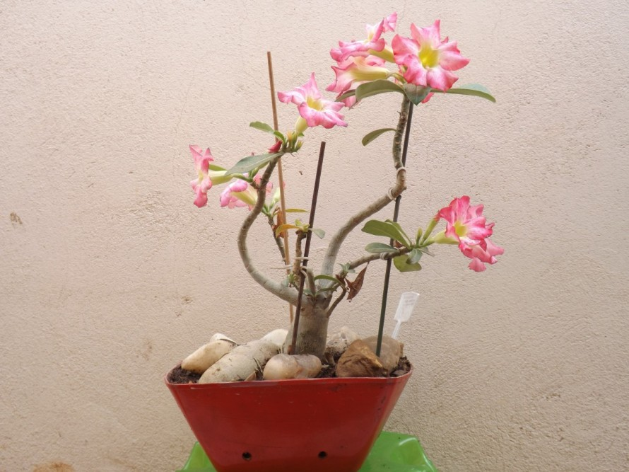 flower_adenium_vase_color_pink_stones-1193001.jpg!d