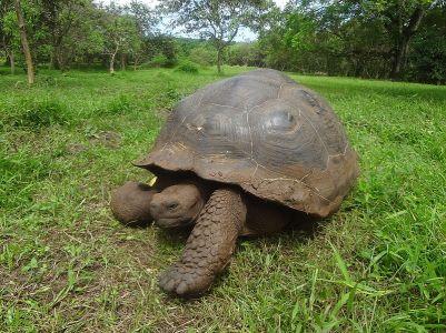 (Chelonoidis_nigra)_El_Chato_Reserve_Galápagos_tortoise