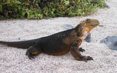 Galapagos Nature Island Iguana Reptile