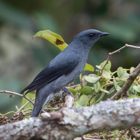 519px-black-winged_cuckooshrike_(cropped)