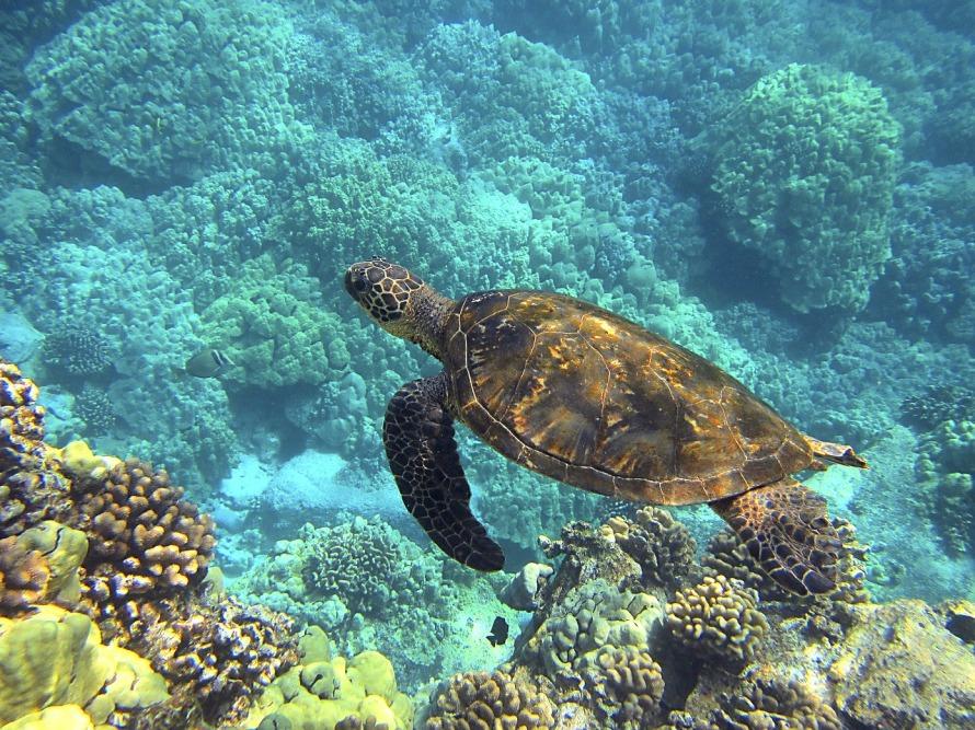 sea-turtle-547162_1280